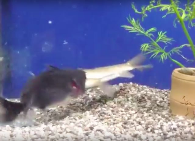 Viral Video: Tough Aquarium Life: Big Fish Swallowed By Bigger Fish