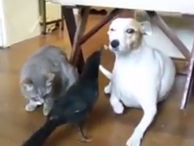 Video: Cat & Dog Patiently Allow Bird To Feed Them