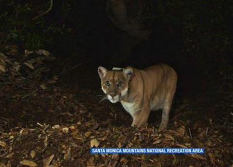 Killer At Large In Hollywood Hills? LA Zoo Suspects Wild Lion Killed Koala