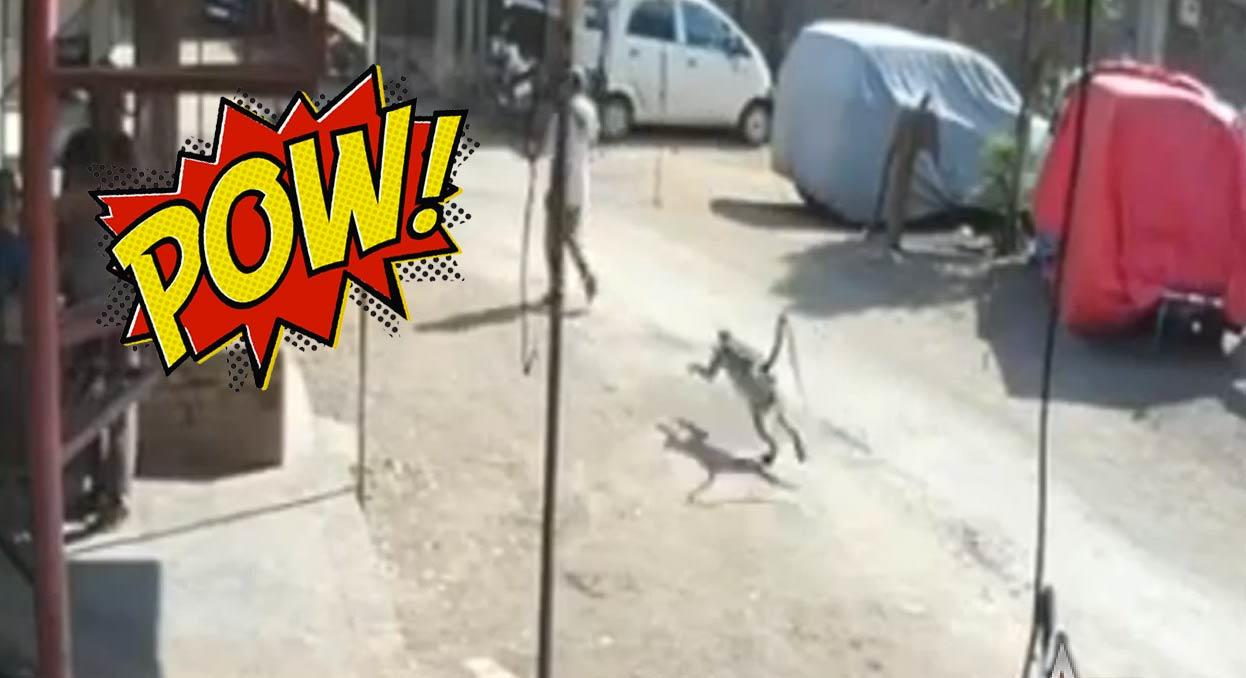 Thug Life: Man Gets Drop-Kicked By A Monkey