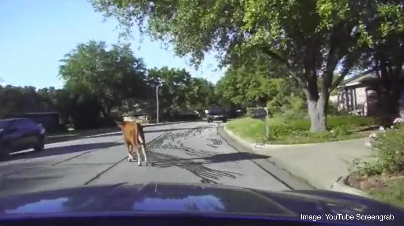 Watch: Hot Pursuit Of Bull On Leisurely Stroll Through Neighborhood