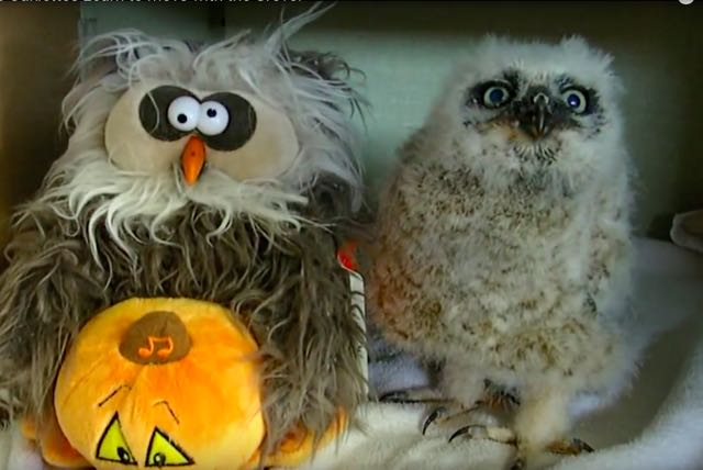 Trending Halloween Video: Real & Fake Owls Do Monster Mash