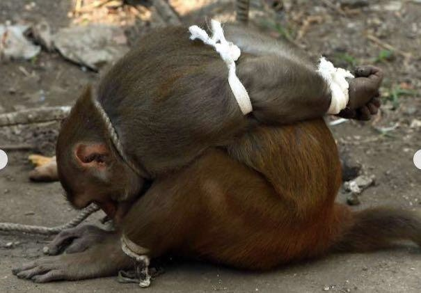 'Thieving Monkey' Captured: Why Residents Of An Indian Town Cheered