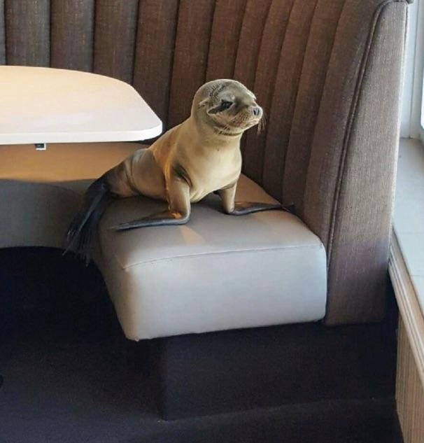 Watch: Hungry Sea Lion Stumbles Into San Diego Restaurant