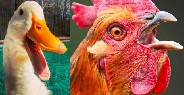Duck Chicken Penis.jpg