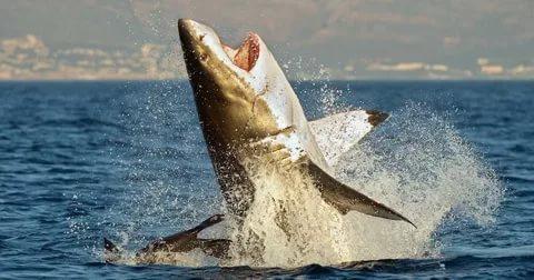 Actual shark attach seal.jpg