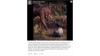 Fact Check: Endangered Orangutan Did NOT Approach And Offer Help To A Stranger In A Mud Pool
