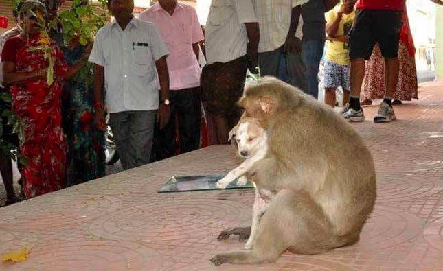 Photo Gallery: Wild Monkey Adopts Stray Puppy in India