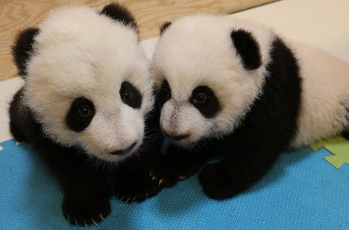 Genders of Toronto Zoo's Twin Pandas Revealed!